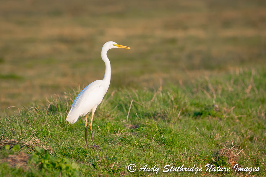 Great White Egret on Marshland