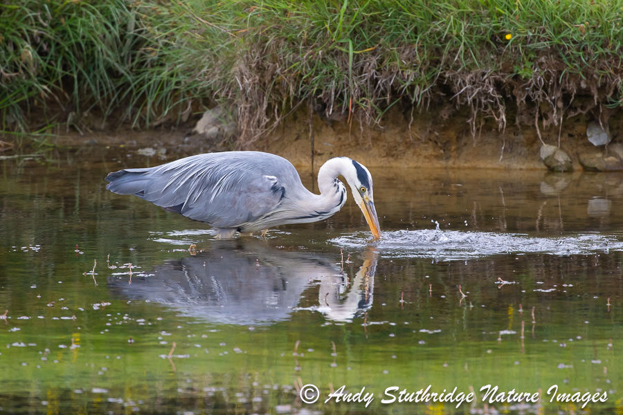 Grey Heron Fishing 2
