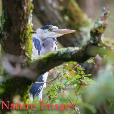 GREY HERON IN OLD OAK TREE