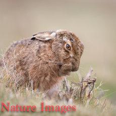 Hare Preening