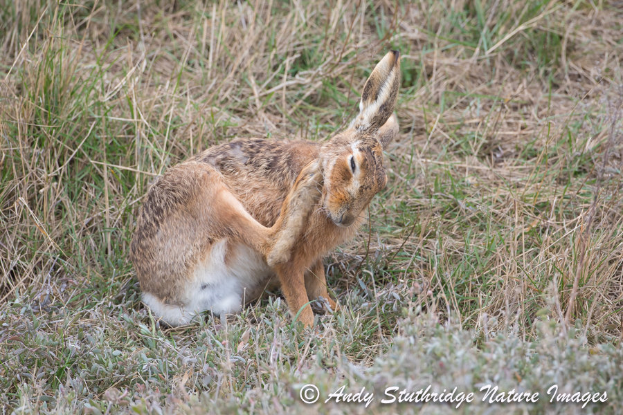 Hare itch!
