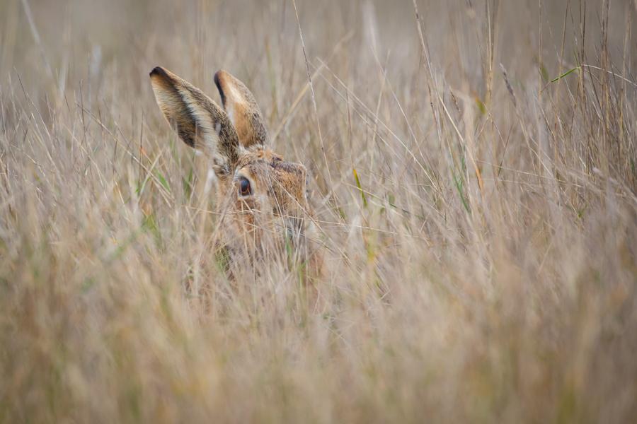 Hare in Hiding