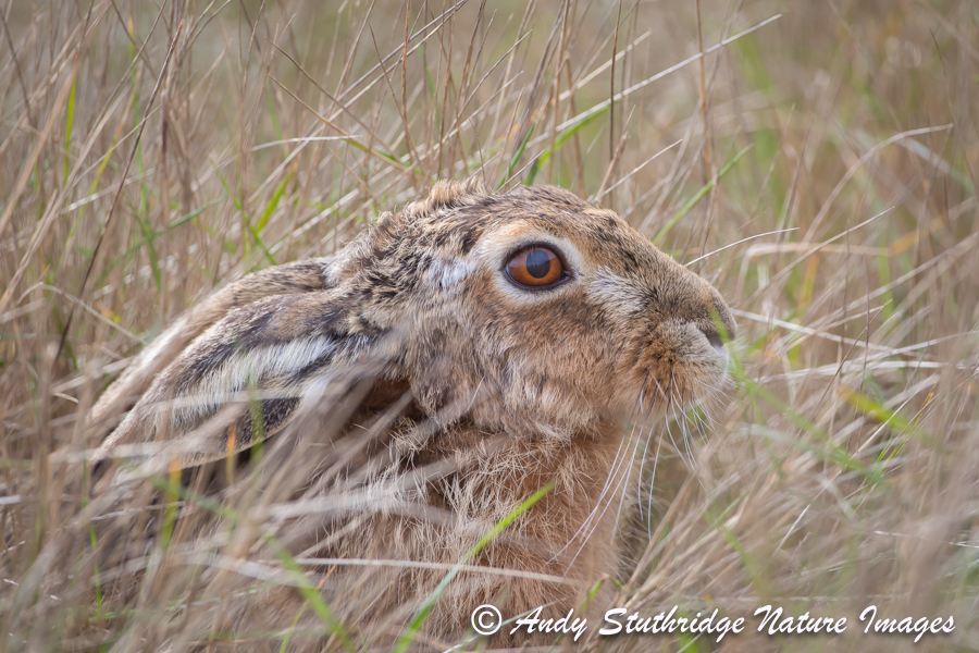Hare in Field-Close-Up