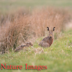 Hares emerging from Cover