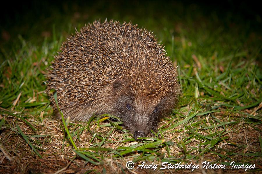 Hedgehog in Urban Garden