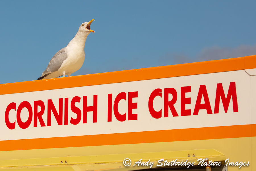 Herring Gull & Ice Cream Vendor