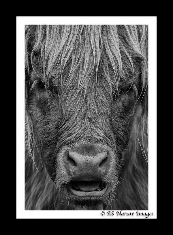 Highland Cow Portrait in B&W