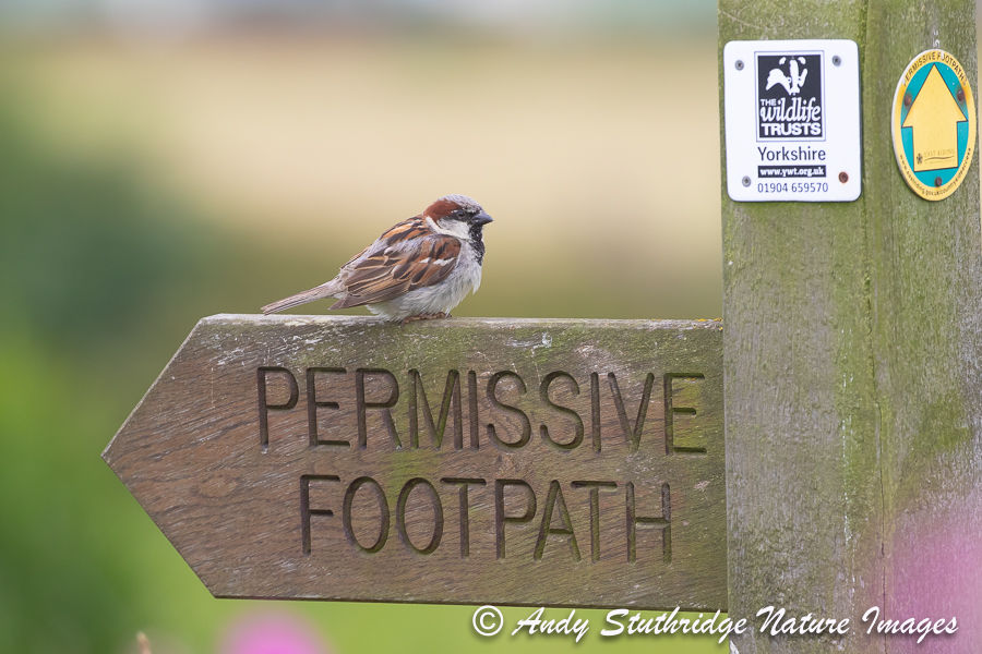 House Sparrow on Footpath