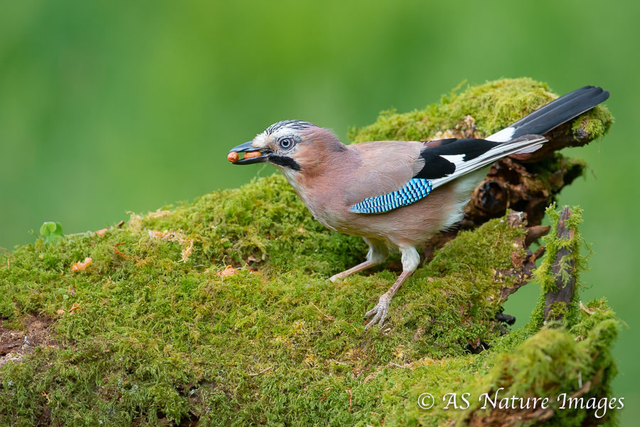Jay with Nuts