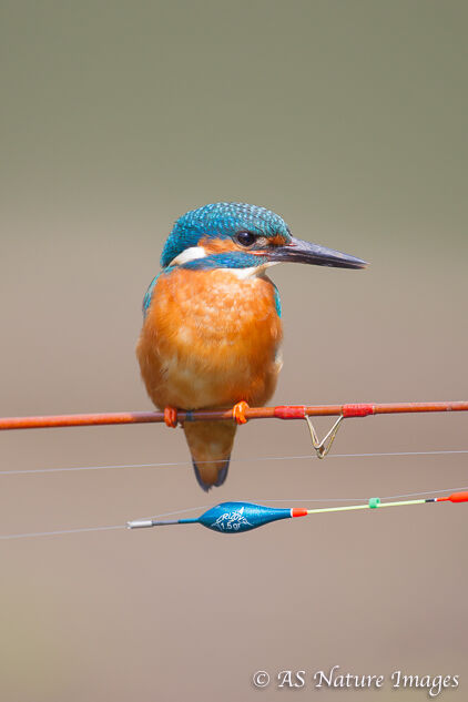 Kingfisher on Fishing Rod