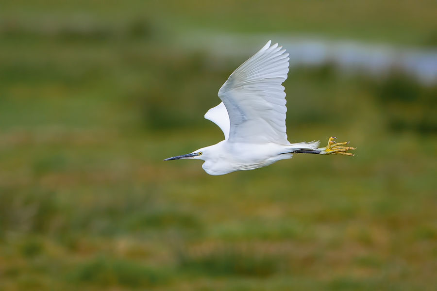 Little Egret Coming in to Land