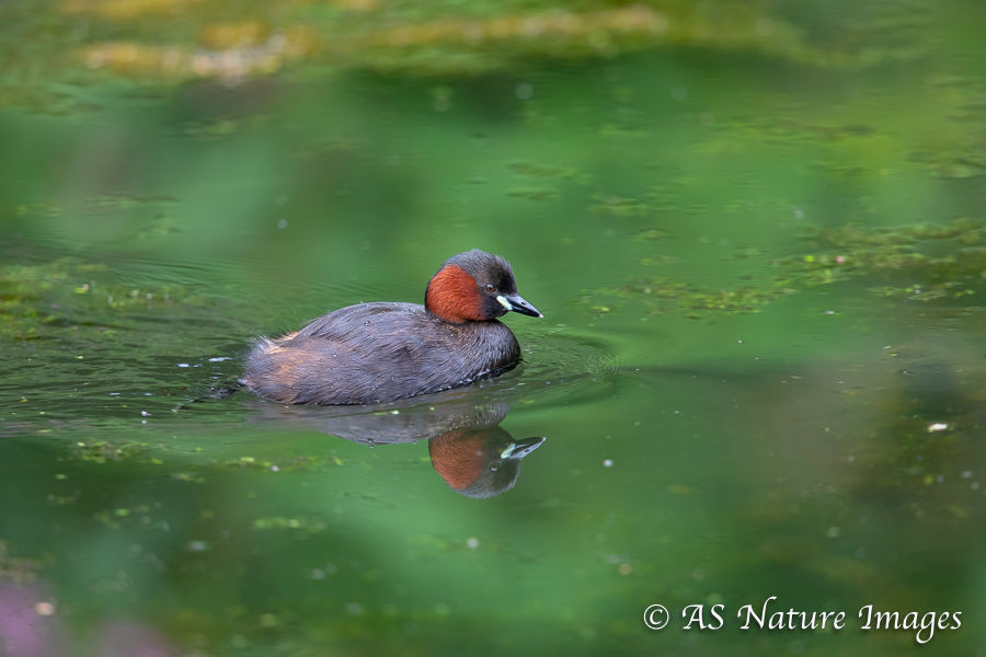 Little Grebe Reflection