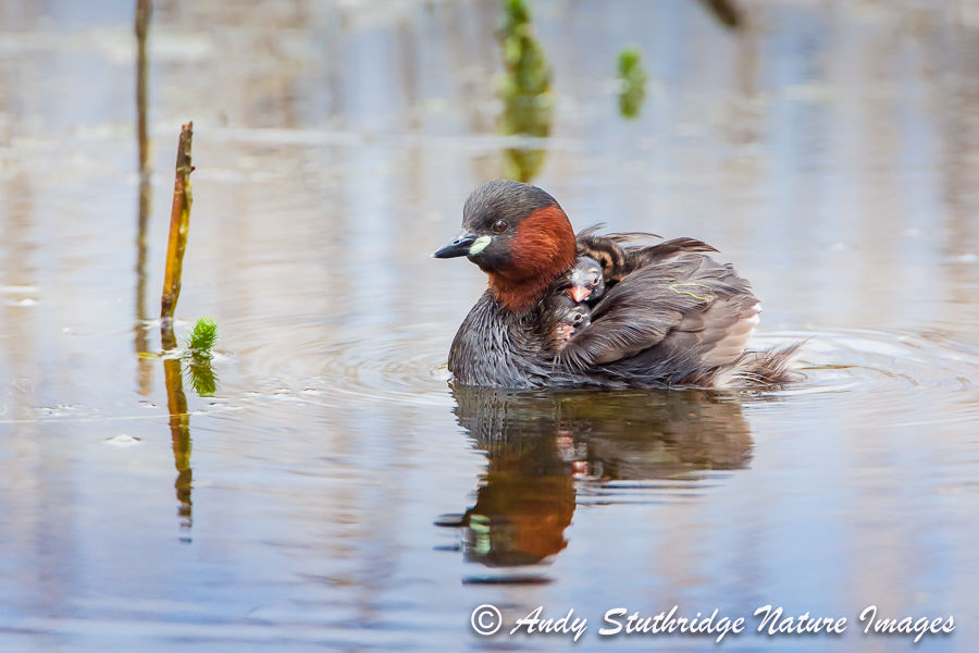 Little Grebe with Chicks on its Back