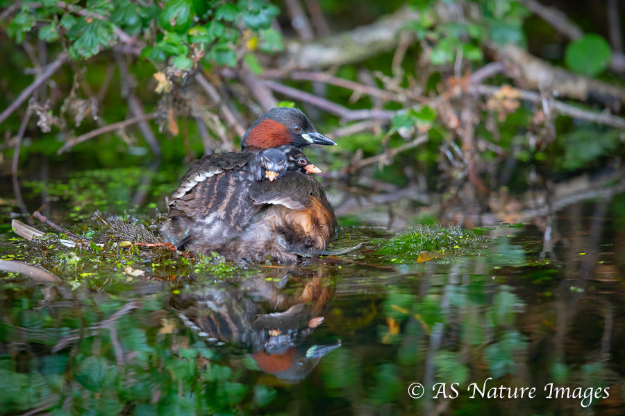Little Grebe Carrying its Chicks on its Back
