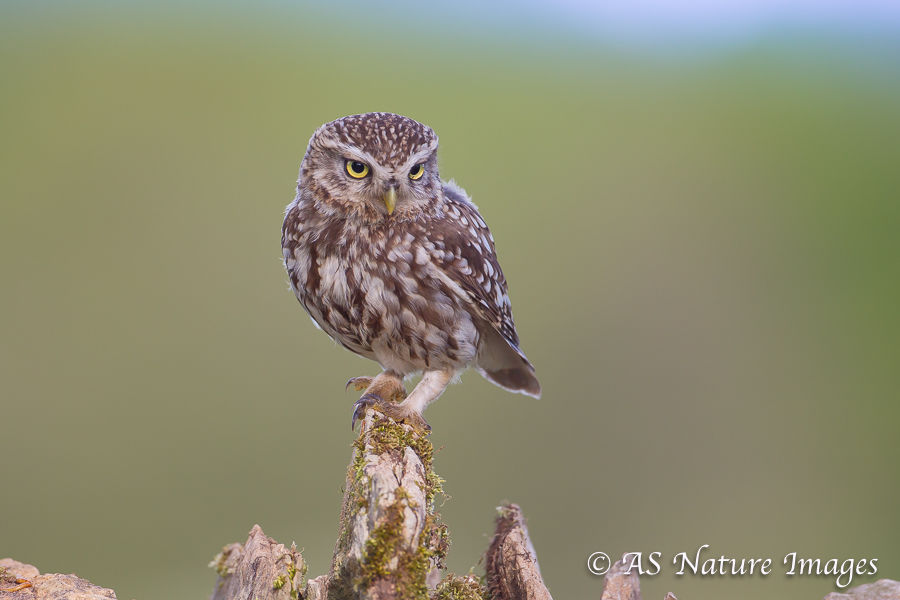 Little Owl Perched on Dry Stone Wall