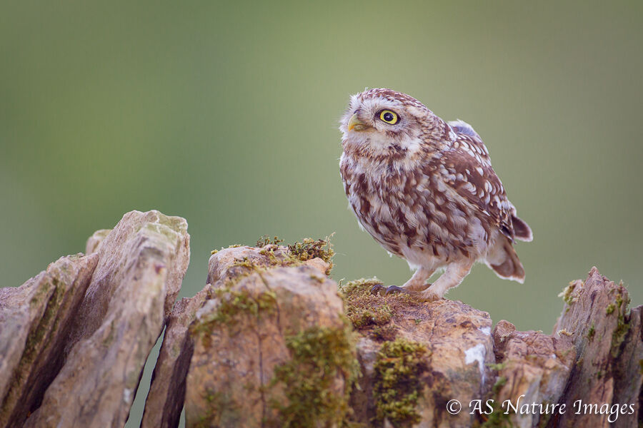 Little Owl on Drystone Wall -2