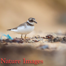 LITTLE RINGED PLOVER ON BEACH