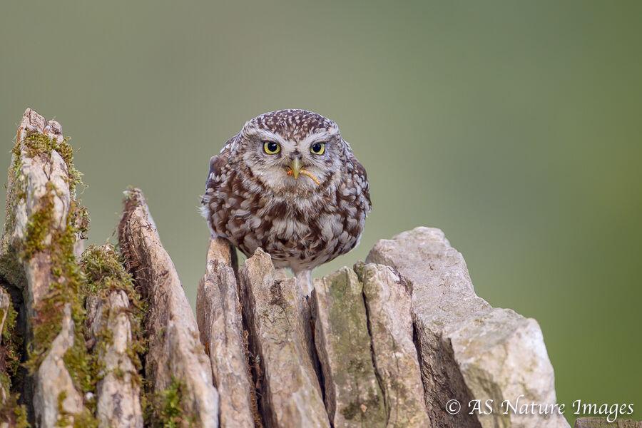 Little Owl on Drystone Wall