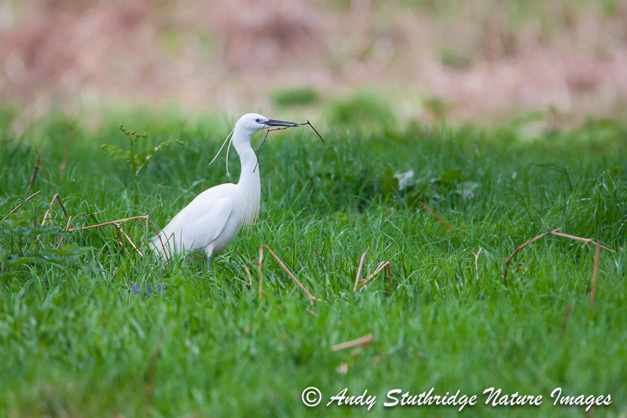 Little Egret with Nesting Material