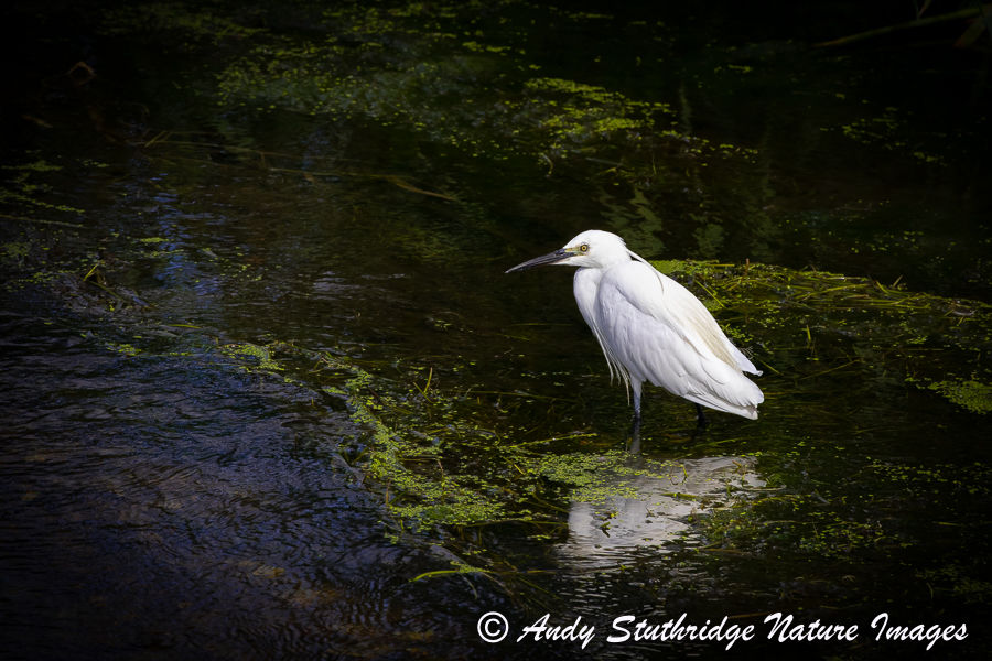 Little Egret in the Shadows