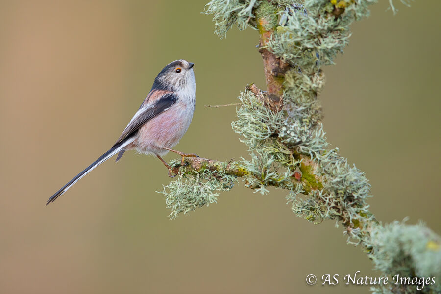 Long Tailed Tit & Lichen