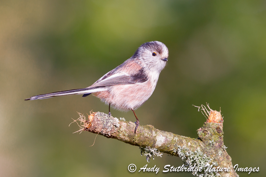 Long Tailed Tit on Branch