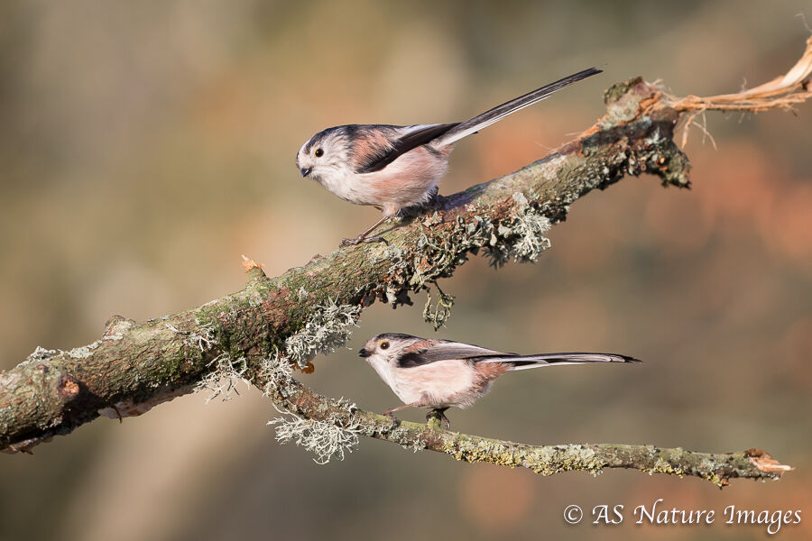 Long Tailed Tit Pair