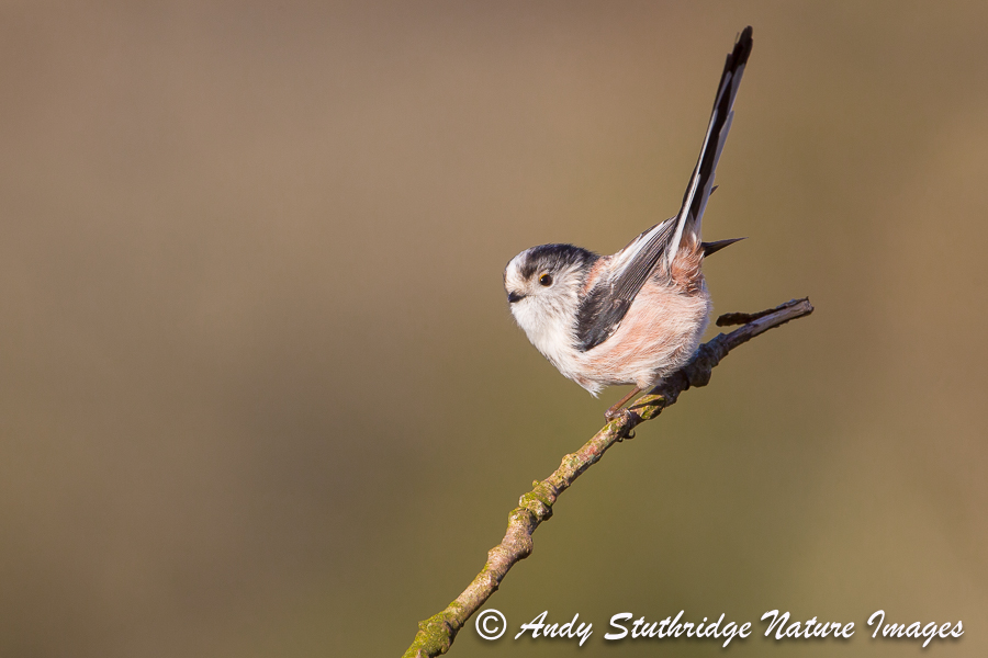 Long Tailed Tit with Tail Up