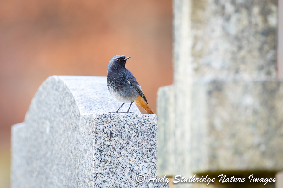 Male Black Redstart on Gravestone 2