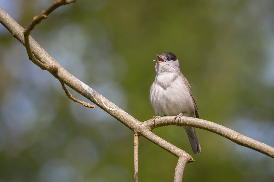 Male Blackcap Singing on Branch