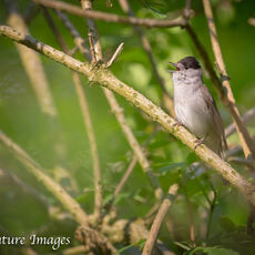 MALE BLACKCAP SINGING