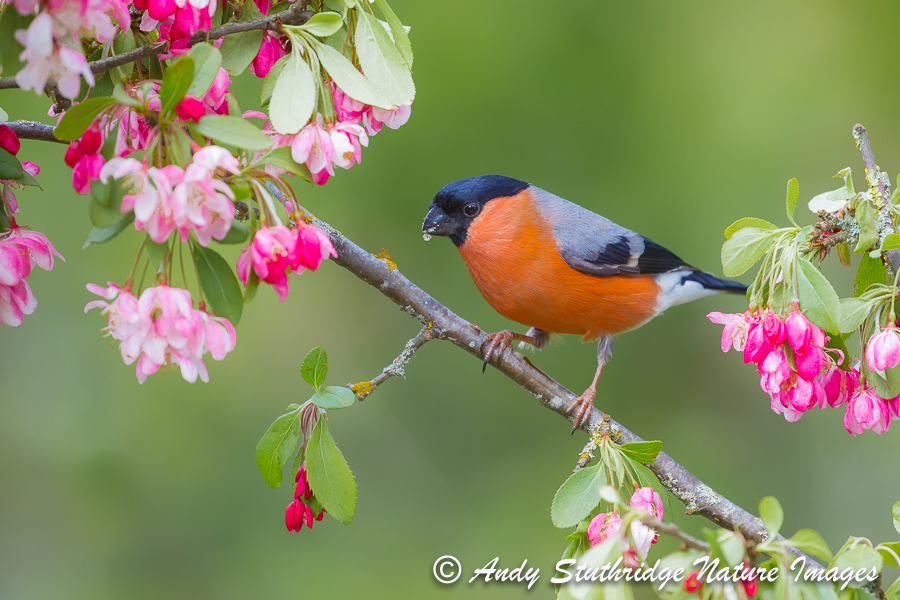 Male Bullfinch in Garden