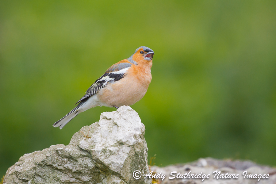 Male Chaffinch Singing