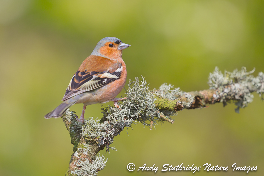 Male Chaffinch on Branch