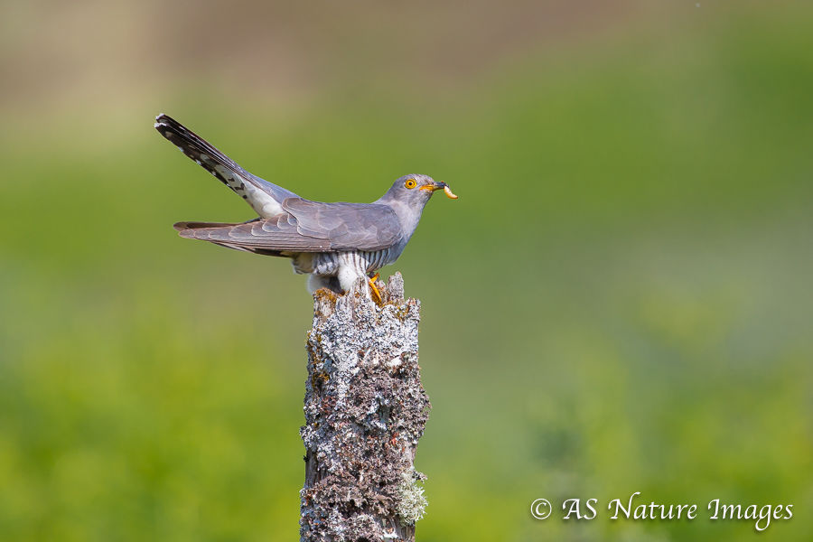 Cuckoo with Grub
