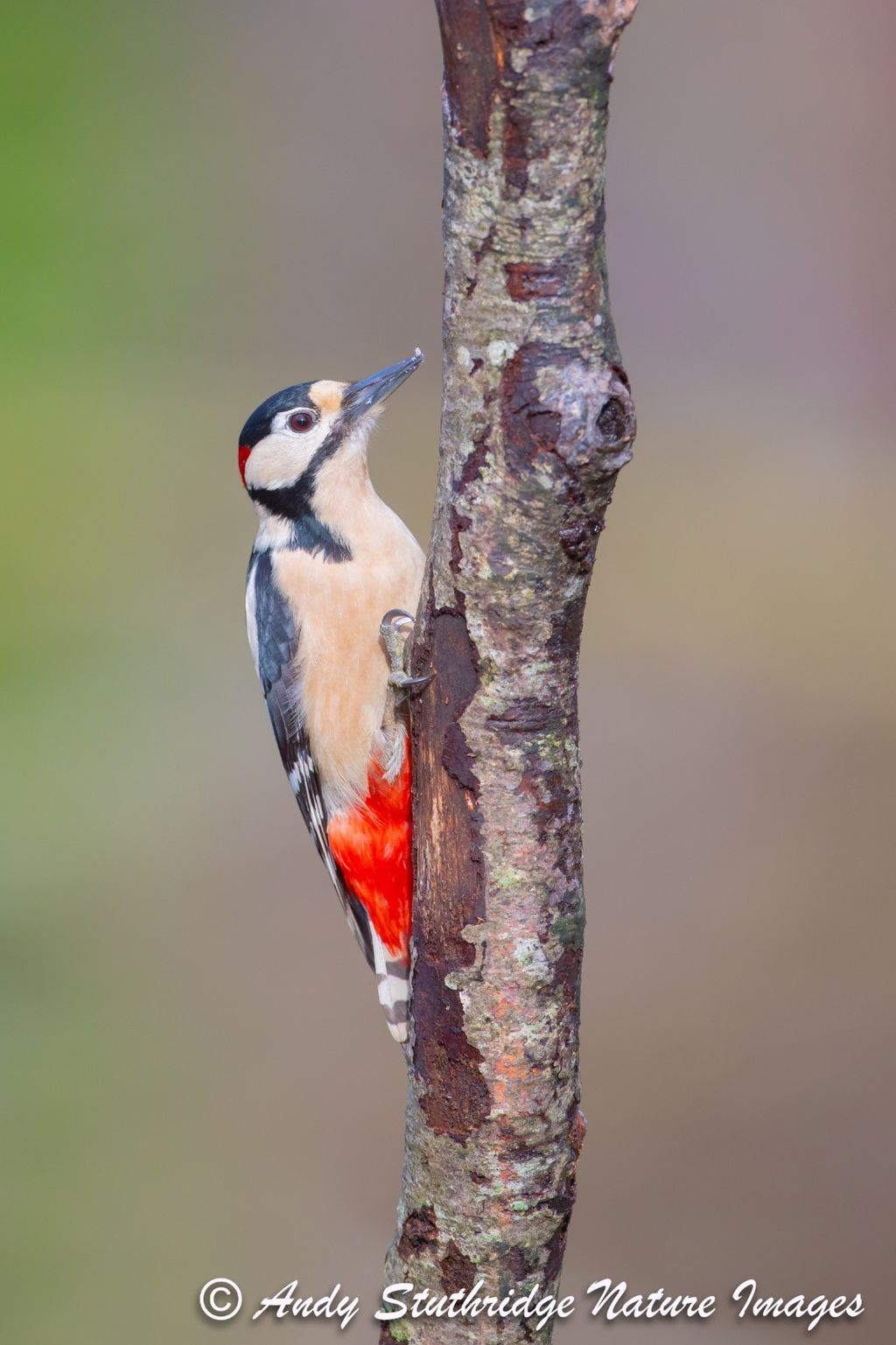 Male Great Spotted Woodpecker Climbing a Tree