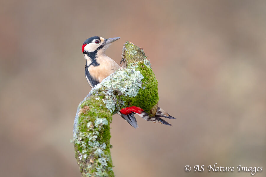 A Male Great Spotted Woodpecker Underneath a Branch