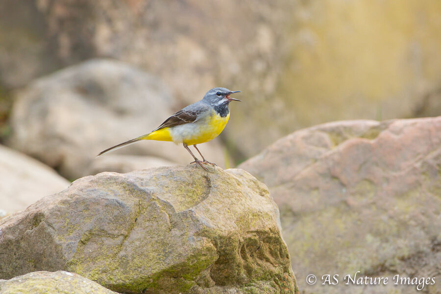 Male Grey wagtail Calling