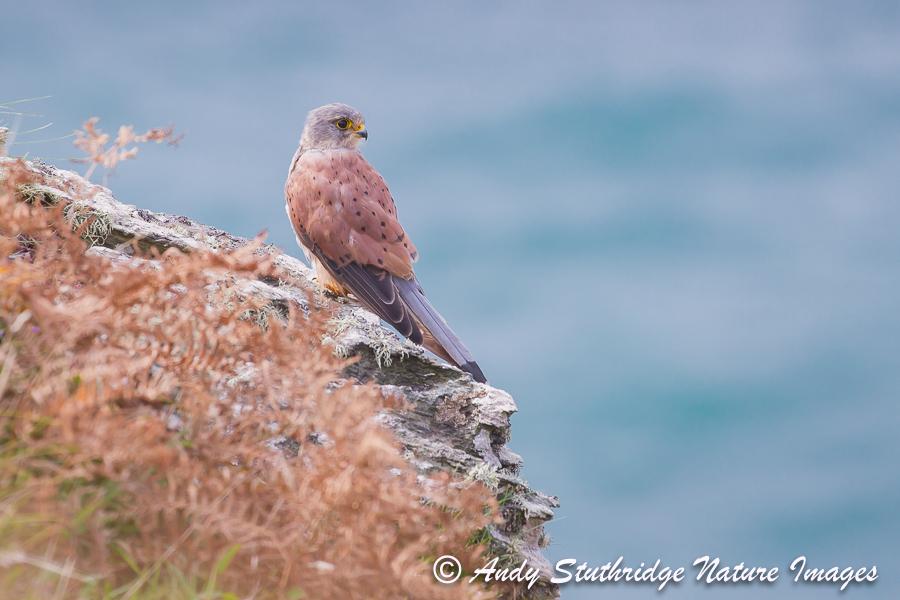 Male Kestrel on Sea Cliff