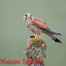 Male Kestrel with Prey