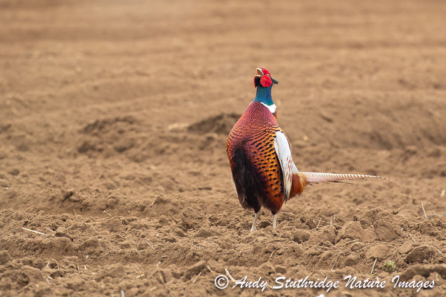 Male Pheasant Calling in Ploughed field