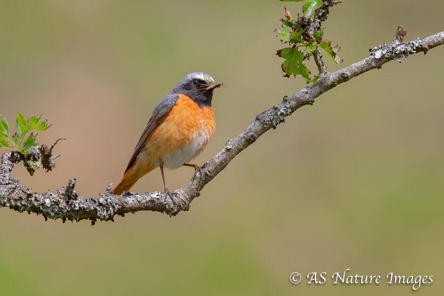 Male Redstart 2