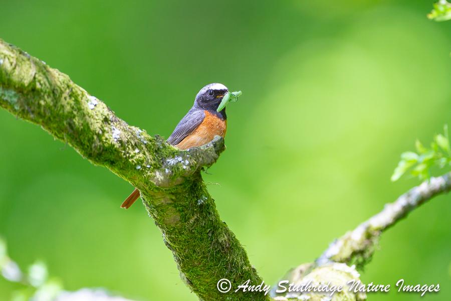 Male Redstart in Oak Tree