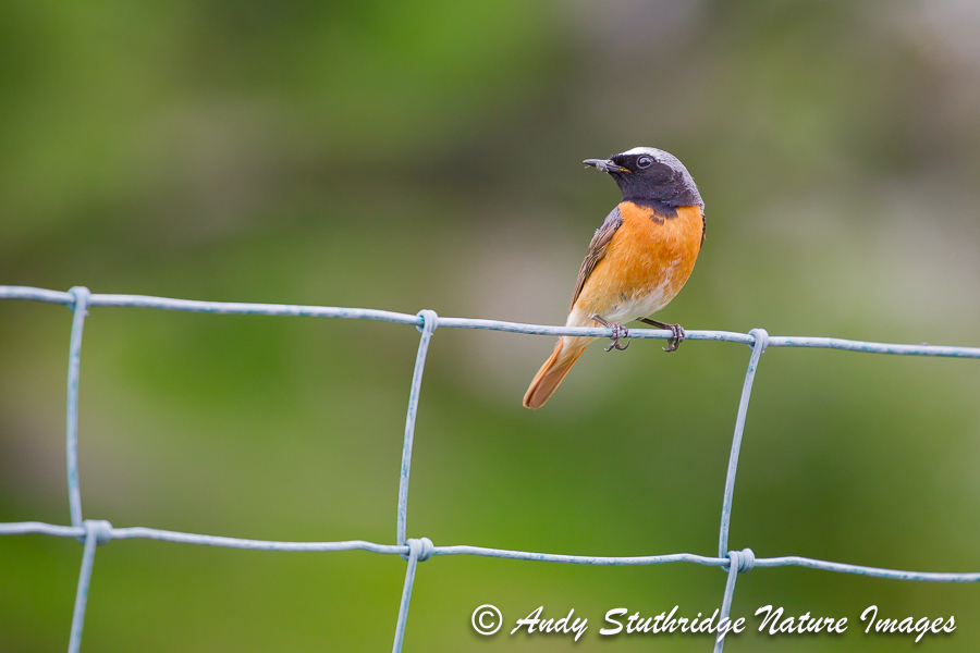 Male Redstart on Fence