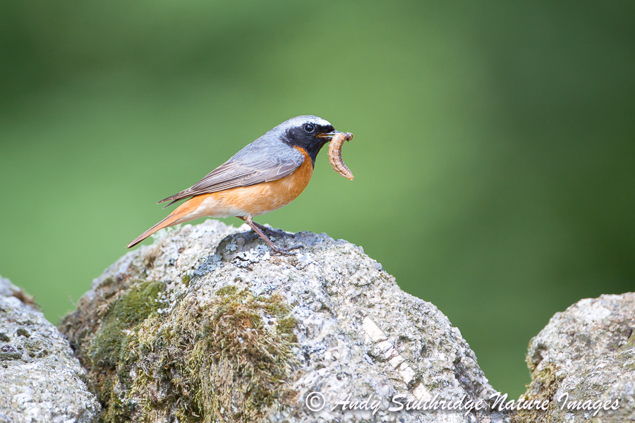 Male Redstart on Wall