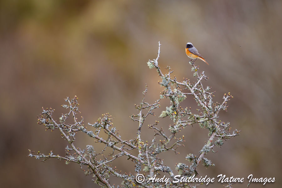 Male Redstart on Hawthorn