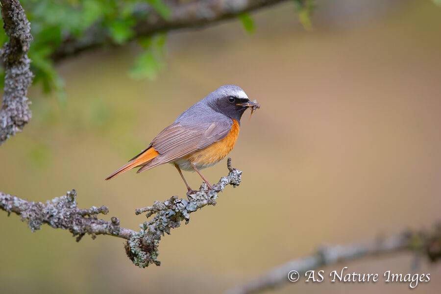 Male Redstart on Post