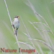 MALE SEDGE WARBLER SINGING