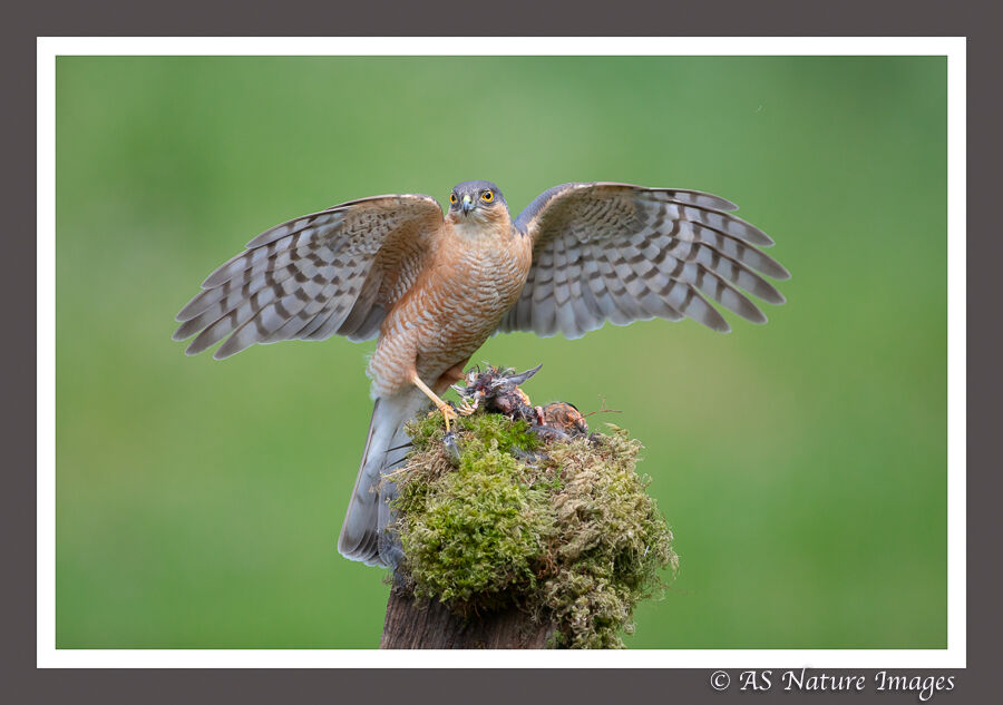 Male Sparrowhawk with Prey
