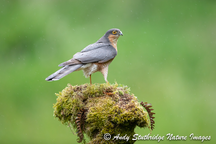 Male Sparrowhawk in the Rain